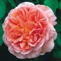 So What's All the Hoopla Over David Austin Roses?