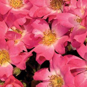 Pink Drift | Autumn Hill Nursery