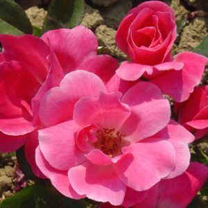 Pink Knockout | Autumn Hill Nursery