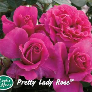 Pretty Lady | Autumn Hill Nursery