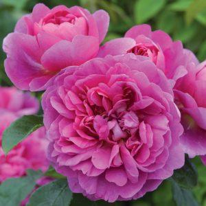Princess Anne - David Austin | Autumn Hill Nursery