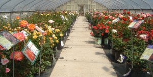Rose blooming in greenhouse