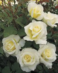 "White Licorice 24"" Tree Rose 