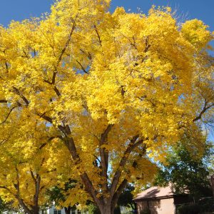 Autumn Hill Nursery | 2020 Tree Sale | Ginkgo