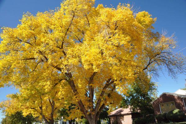 Autumn Hill Nursery | 2020 Tree Sale | Ginkgo