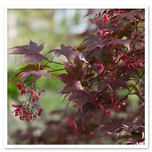 Autumn Hill Nursery   2020 Tree Sale   Japanese Maple-Bloodgood