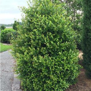 Autumn Hill Nursery | 2020 Tree Sale | Compacta Cherry Laurel