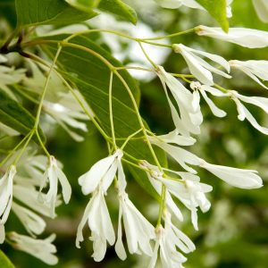 Autumn Hill Nursery | 2020 Tree Sale | Fringe Tree-China Snow