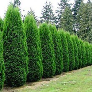 Autumn Hill Nursery | 2020 Tree Sale | Arborvitae-Emerald Green