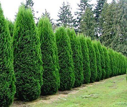 Autumn Hill Nursery   2020 Tree Sale   Arborvitae-Emerald Green