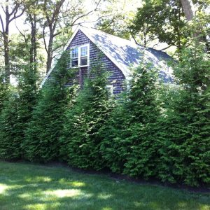 Autumn Hill Nursery | 2020 Tree Sale | Arborvitae-Green Giant