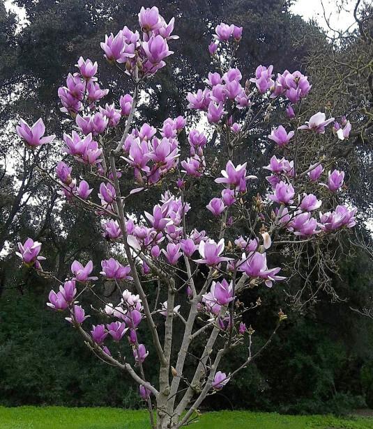 Autumn Hill Nursery | 2020 Tree Sale | Magnolia-Jane