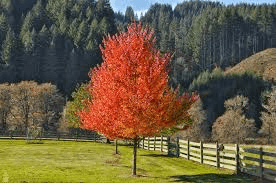 Autumn Hill Nursery | 2020 Tree Sale | Maple-October Glory