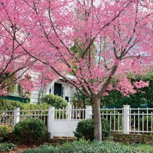 Autumn Hill Nursery | 2020 Tree Sale | Cherry-Okame