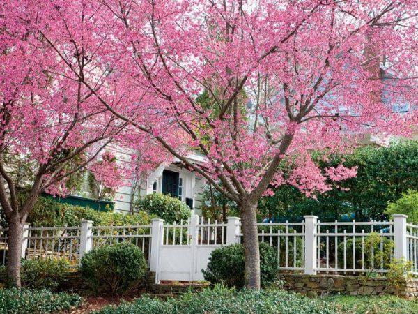 Autumn Hill Nursery   2020 Tree Sale   Cherry-Okame