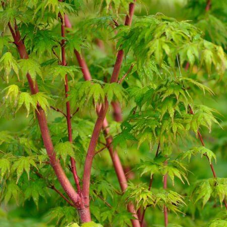 Autumn Hill Nursery   2020 Tree Sale   Japanese Maple-Sango Kaku