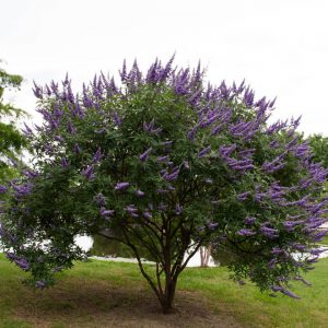 Autumn Hill Nursery | 2020 Tree Sale | Vitex-Shoal Creek