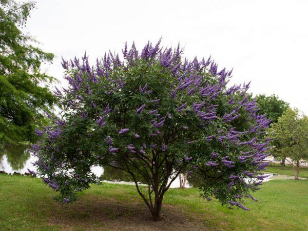 Autumn Hill Nursery | 2020 Tree Sale | Vitex-Shoal Creek