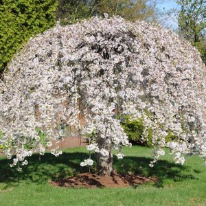 Autumn Hill Nursery | 2020 Tree Sale | Cherry-Weeping Snow Fountain