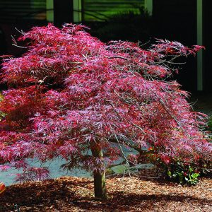 Autumn Hill Nursery | 2020 Tree Sale | Japanese Maple-Tamukeyama