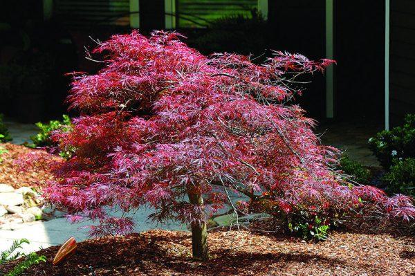 Autumn Hill Nursery   2020 Tree Sale   Japanese Maple-Tamukeyama