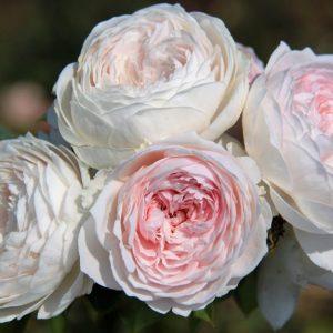 Earth Angel Parfuma | Autumn Hill Nursery