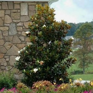 Autumn Hill Nursery | 2020 Tree Sale | Little Gem Magnolia