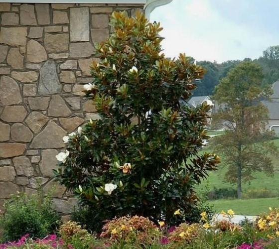 Autumn Hill Nursery | 2020 Tree Sale | Little Gem Magnolia