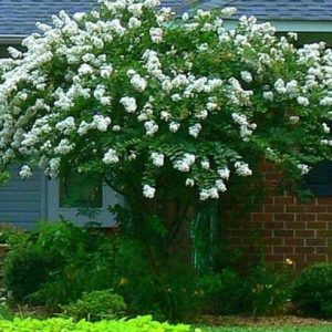 Autumn Hill Nursery | 2020 Tree Sale | Crape Myrtle-Acoma