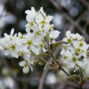 Autumn Hill Nursery | 2020 Tree Sale | Serviceberry-Autumn Brilliance