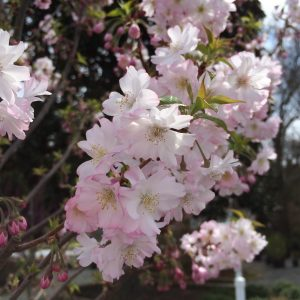 Autumn Hill Nursery | 2020 Tree Sale | Cherry-Autumnalis