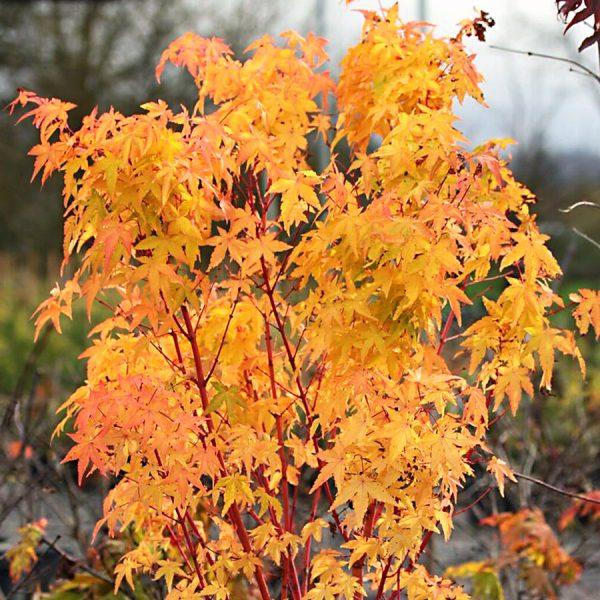 Autumn Hill Nursery | 2020 Tree Sale | Japanese Maple-Bihou