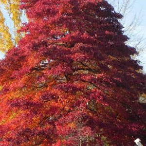 Autumn Hill Nursery | 2020 Tree Sale | Black Gum-Wildfire