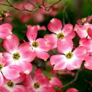 Autumn Hill Nursery | 2020 Tree Sale | Dogwood-Cherokee Brave