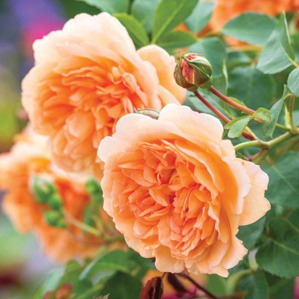 Dame Judi Dench | Autumn Hill Nursery