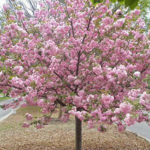 Autumn Hill Nursery | 2020 Tree Sale | Cherry-Kwanzan
