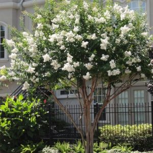 Autumn Hill Nursery | 2020 Tree Sale | Crape Myrtle-Natchez