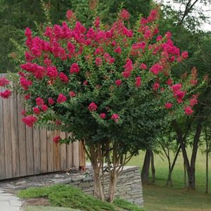 Autumn Hill Nursery | 2020 Tree Sale | Crape Myrtle-Tonto
