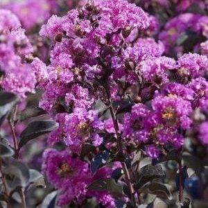 Autumn Hill Nursery   2020 Tree Sale   Crape Myrtle-Black Diamond Purely Purple