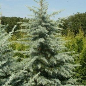 Autumn Hill Nursery | 2020 Tree Sale | Deodar Cedar-Patti Faye
