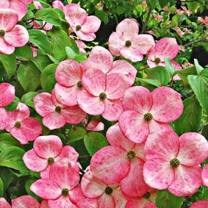Autumn Hill Nursery | 2020 Tree Sale | Dogwood-Steller Pink Kousa
