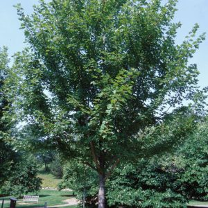 Autumn Hill Nursery | 2020 Tree Sale | Maple-Autumn Blaze