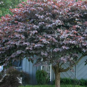 Autumn Hill Nursery | 2020 Tree Sale | Redbud-Forest Pansy