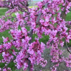 Autumn Hill Nursery | 2020 Tree Sale | Redbud-Rising Sun