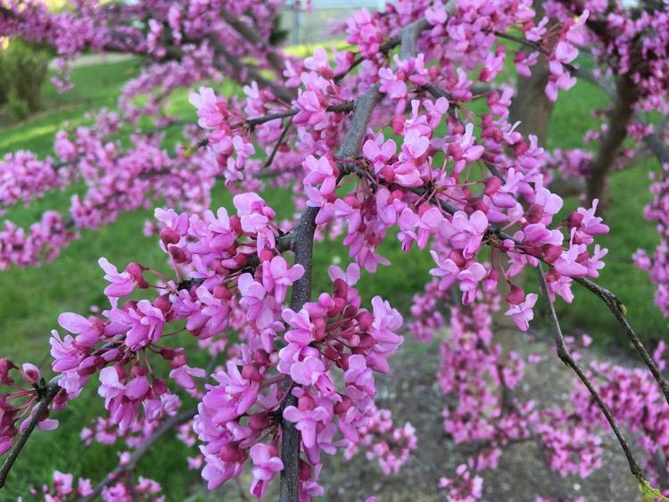 Autumn Hill Nursery | 2020 Tree Sale | Redbud-Rising Sun