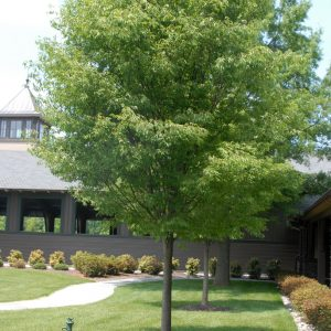 Autumn Hill Nursery | 2020 Tree Sale | Zelcova-Green Vase