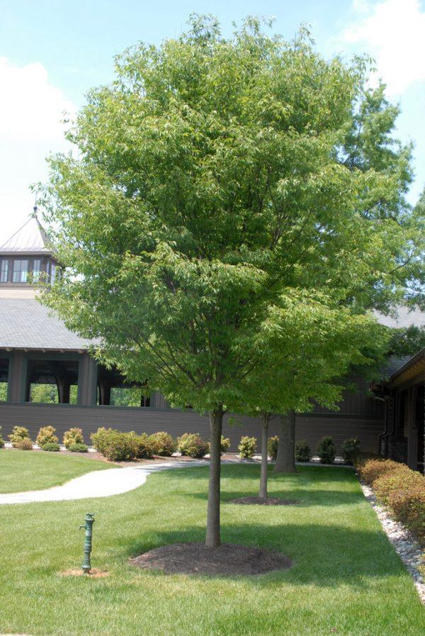 Autumn Hill Nursery | 2020 Tree Sale | Zelcova-Green Vase